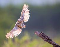 霸气的降落——纵纹腹小鸮