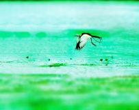 水凤凰----仙子下凡尘