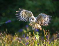 探花——乌林鸮