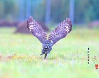 《可怕的华尔兹》—— 乌林鸮