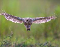 利爪——纵纹腹小鸮