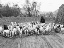 雨中赶羊人