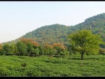 秋日杭州,龙井问茶