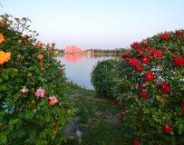月季花开香满园