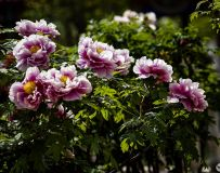 方城德云山风情植物园――牡丹花(10)