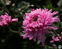 菊花盛开香满园(7)