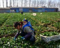 贵州摘菜工在鲁山