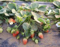 红红的草莓