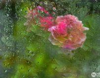 春雨润牡丹