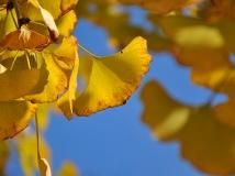 南方的叶子黄了---韶关银杏沟