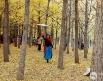 金秋北京奥森公园  红枫银杏彩叶飘飘(45)
