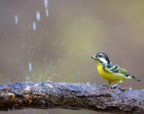 沐浴——黄腹山雀