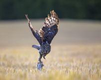 正面出击——乌林鸮
