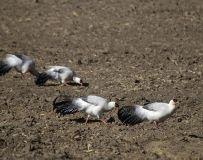 中国特有鸟类——高原白马鸡