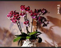 盆栽蝴蝶兰