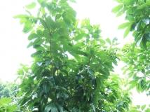 荔枝树的春天