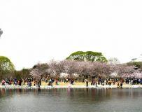 北京玉渊潭樱花节随拍之十六