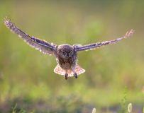 目不转睛——纵纹腹小鸮