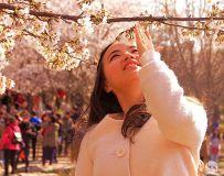 樱花盛开时节