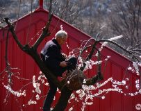 嫁接果树的老人