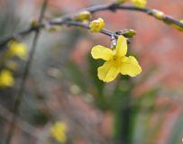雪后迎春花