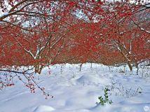 又是一年茱萸红组照