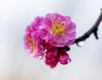 春露润红梅