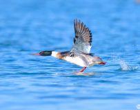 《飞奔永向前》—— 红胸秋沙鸭