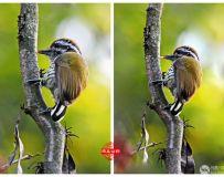 最小的啄木鸟---斑姬(啄木鸟)