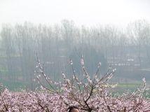 桃花盛开春色美【组图】