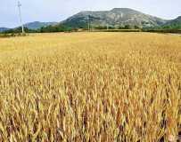 金色的麦浪