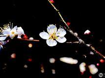 """""""徒步""""杯摄影月赛四月—《孤傲梅花仙子》作者:风"""