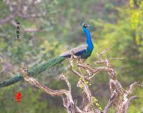 《枝头孔雀》—— 斯里兰卡