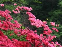 红艳艳的红杜鹃