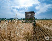 丰收季节之麦收(组照)