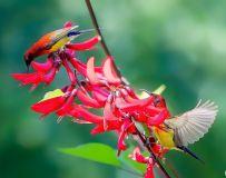 蓝喉太阳鸟(6)