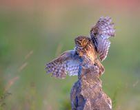 降落瞬间——纵纹腹小鸮