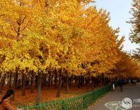 金秋北京奥森公园 红枫银杏彩叶飘飘(53)