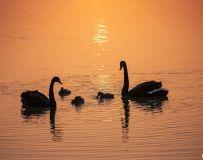 《黑天鹅一家亲》