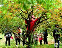 丰收的樱桃沟