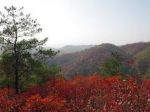 【黄岗红叶大赛】满山红叶似彩霞