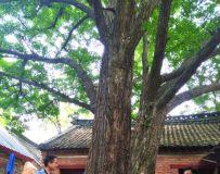 老家的古银杏树