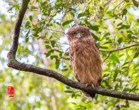 《伸懒腰》—— 褐渔鸮