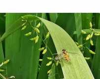 扁竹中的小蜜蜂