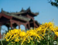 我在南阳观菊花(一)