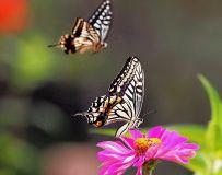 两只蝴蝶21.4