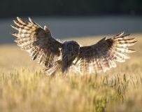 捕捉——乌林鸮