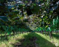平顶山高新区霍张村的葡萄熟了