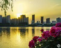 红花扮靓金色的河