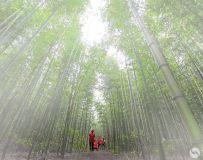 雾锁翠竹林